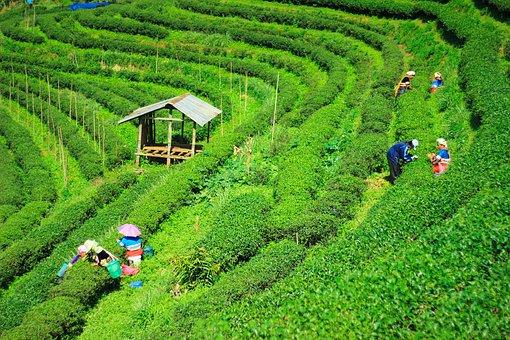 teeplantagen 2
